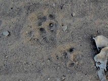 Footprint of jaguar Royalty Free Stock Photography