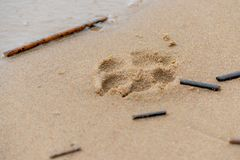 Footprint in the sand. A young, energetic German Great Dane walks on the beach after a storm. The obedient pet executes commands of the owner. Harmony in royalty free stock photography