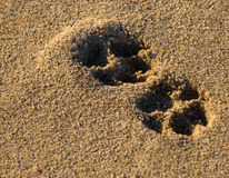 Two dog paws. Footprint of two dog paws in the sand Stock Images