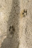 Footprints of the animal in the sand,on soft soil. Footprints of the animal in the sand stock photography