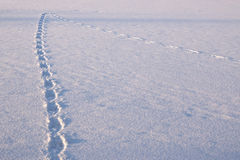 Footprints. Animal tracks in the snow, change plans Royalty Free Stock Photography