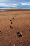 Footprints on beach. Footprints of man and dog on sandy beach Royalty Free Stock Photos