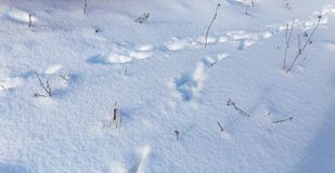 Footprints of the beast on the snow in winter.  Stock Image