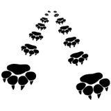 Footprints of a big cat Stock Photo