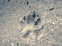 The footprints of big  dog on the sand beach. Morning walk. On coastline Stock Images
