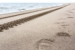 Footprints of brown bear and tire tracks on the sand. Kamchatka, Russia royalty free stock image