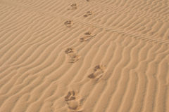 Footprints in the desert or beach sand Stock Images