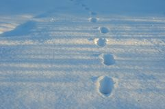 Footprints in fresh white snow. Closeup of footsteps in the deep snow. Animal tracks in the deep snow on the field Stock Images