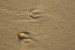 Footprints of a gull and a shell on the beach. A closeup of the footprints of a gull and a shell on the beach. Walking on the beach there are a lot of simple but Stock Photography
