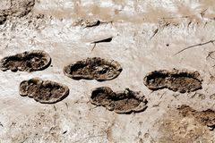 Footprints in the mud. In nature, note shallow depth of field Royalty Free Stock Image