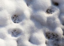 Footprints from the paws of the beast on the snow. As a background Stock Images