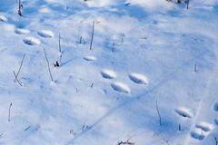 Footprints from the paws of the beast on the snow. As a background Stock Photos