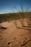 Footprints on a red sandy dune in the Kalahari Royalty Free Stock Image