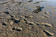 Footprints in the river mud. stock photo