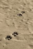 Footprints in the sand. Footprint of animals on the sand Royalty Free Stock Photo