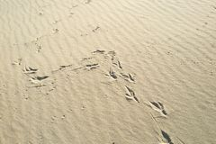 Footprints in the sand from the bird, stock images