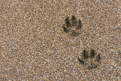 Footprints in the sand. Dog footprints on wet brown sand royalty free stock photos