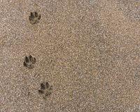 Footprints in the sand. Dog footprints on wet brown sand royalty free stock images