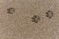 Footprints in the sand. Dog footprints on wet brown sand royalty free stock photo