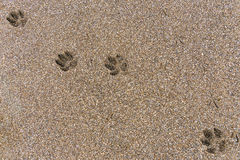 Footprints in the sand. Dog footprints on wet brown sand stock photos