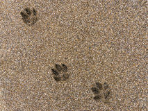 Footprints in the sand. Dog footprints on wet brown sand stock images