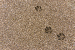 Footprints in the sand. Dog footprints on wet brown sand stock photography