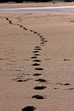 Footprints in sand. Fading into the distance along a beach Royalty Free Stock Photo