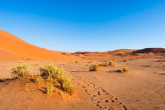 Footprints on scenic ripples and sand dunes in Sossusvlei, Namib Naukluft National Park, best tourist and travel attraction in Nam. Ibia. Adventure and Royalty Free Stock Image