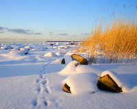 Footprints in snow. Scenic view of footprints receding past golden sunlit clump of grass in Wintry landscape Royalty Free Stock Photography