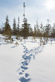 Footprints in the snow in winter forest Royalty Free Stock Photos