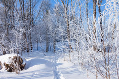 Footprints in the snow of a winter forest Royalty Free Stock Images