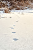Footprints of unknown wild animal in the snow Royalty Free Stock Photos