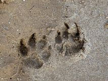 Footprints on the wet sand. The imprint of dog paws on wet sand near the water Royalty Free Stock Images
