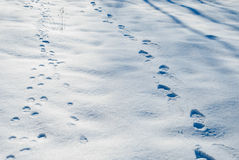 Footprints in the winter snow. Traces of human and wolf imprinted on the winter snow stock images