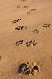 Footstep of the dog. Footsteps of the dog on the sand beach Stock Photography