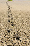 Footsteps in arid land. Footsteps of cattle in arid land Stock Images