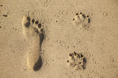 Footsteps of a dog and a man at the beach Royalty Free Stock Images