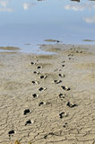 Footsteps mud Royalty Free Stock Image