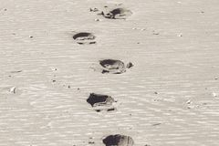 Footsteps in the sand. On a beach Royalty Free Stock Photography