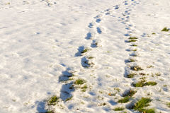 Footsteps on the snow and fresh grass. Royalty Free Stock Photo