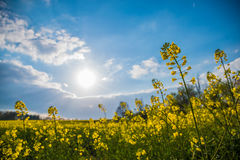 Fop perspective of meadow yellow blossoms sunlight spring Royalty Free Stock Images