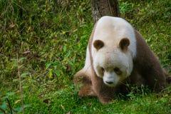 Qi Zai – A Male Brown Panda stock photo