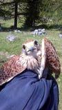 Foppolo, sulle alpi di Orobie durante l'aiuto di escursione un piccolo falco rosso ferito, allora consegnato al corpo di silvicol Immagini Stock