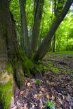 Forêt à feuilles caduques Images stock