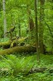 Forêt à feuilles caduques avec le groupe de fougère Images libres de droits