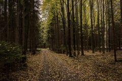 Forêt à feuilles caduques avec les feuilles jaunes tombées Photographie stock