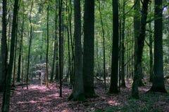 Forêt à feuilles caduques de Densy en été images libres de droits