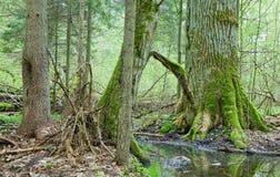 Forêt à feuilles caduques de printemps Photos stock