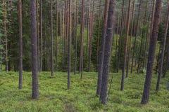 Forêt à feuilles persistantes sauvage Photographie stock