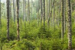 Forêt à feuilles persistantes vivante Photo libre de droits